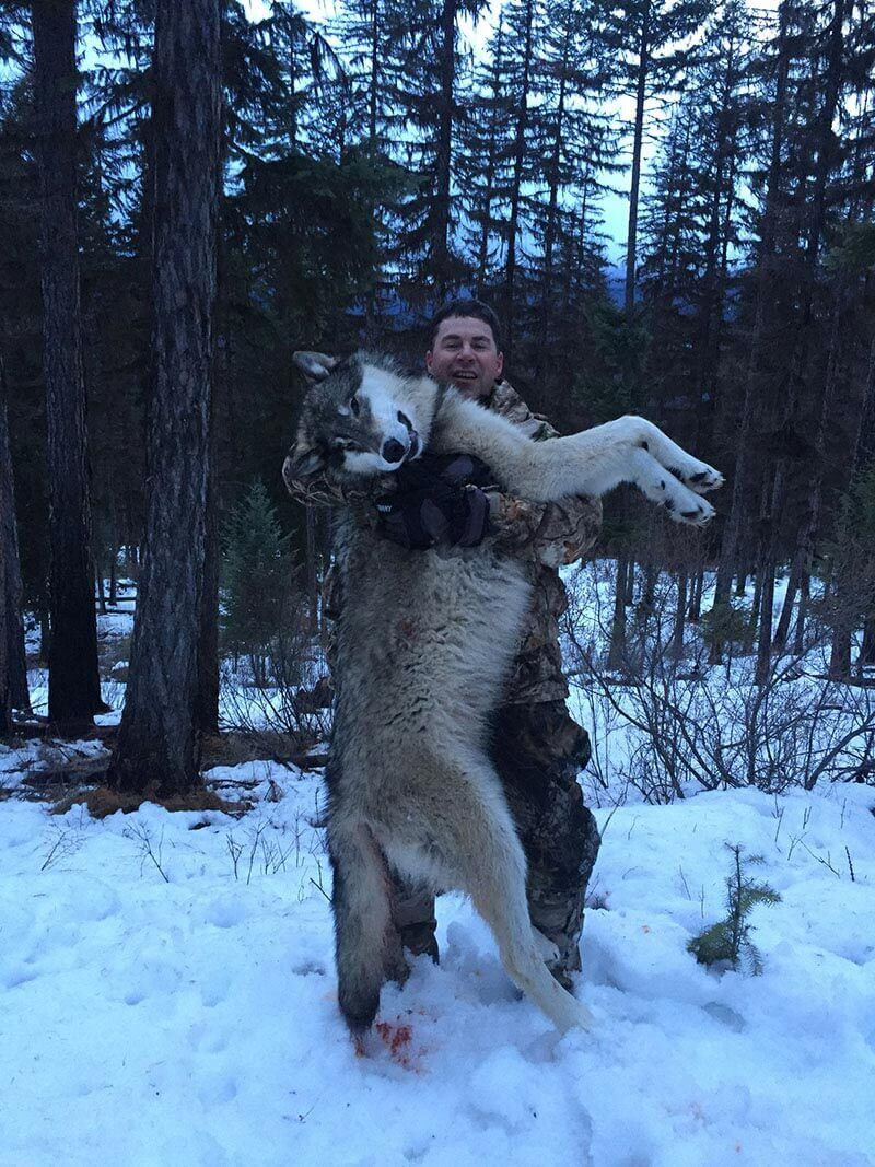 Montana Trophy Gray Wolf Hunt