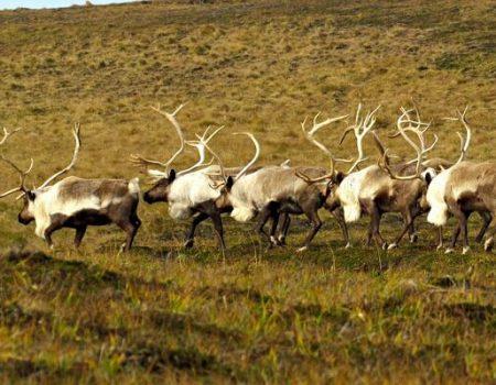 wta_1008_R86TJR_reindeer-walking-away